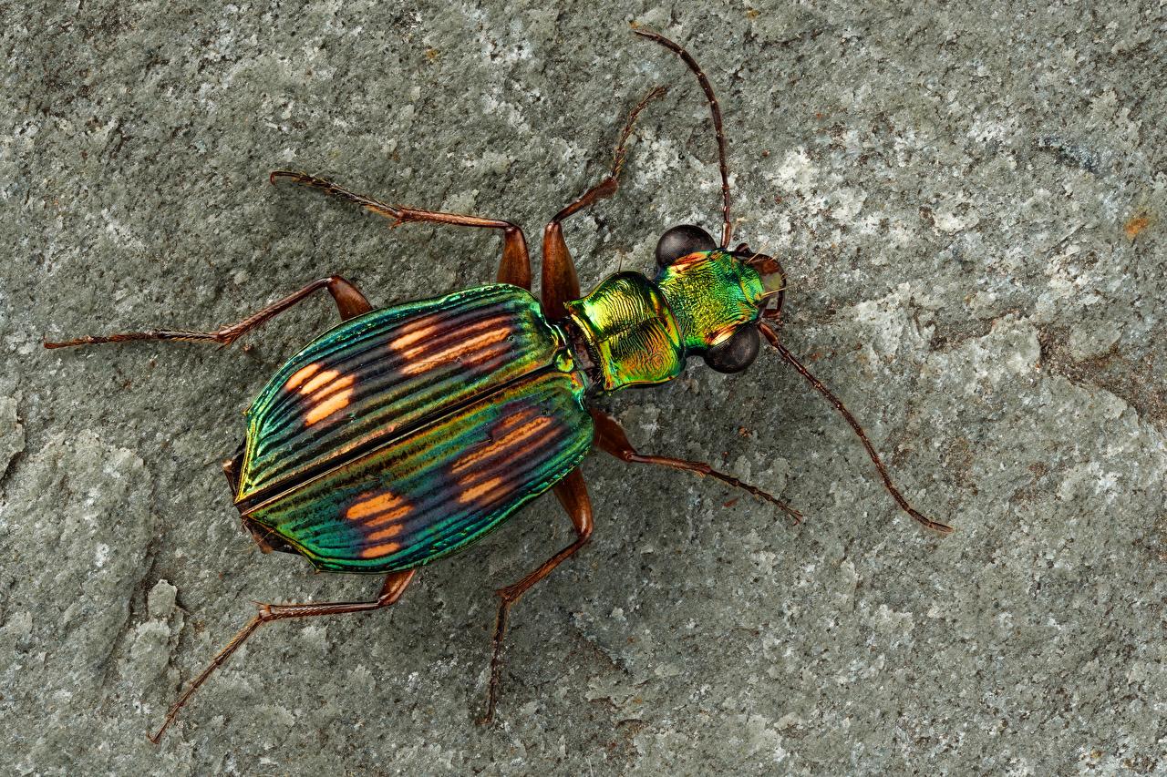 Фотография Жуки насекомое pericalus вблизи животное Насекомые Животные Крупным планом