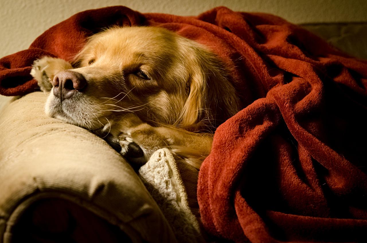 Фотография Золотистый ретривер Собаки сон Морда Животные Голден Спит спящий