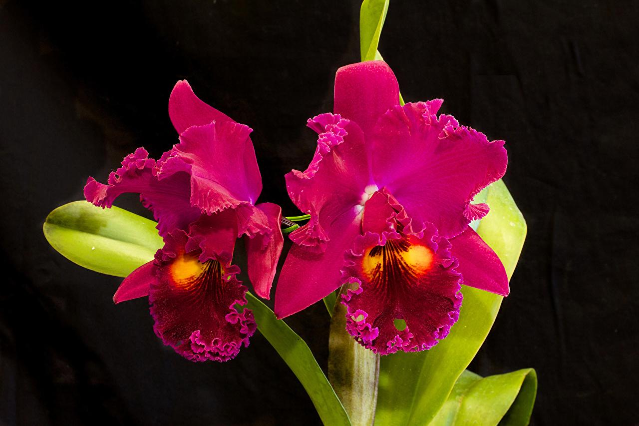 Обои для рабочего стола орхидея темно красный цветок Крупным планом Орхидеи бордовая бордовые Бордовый Цветы вблизи