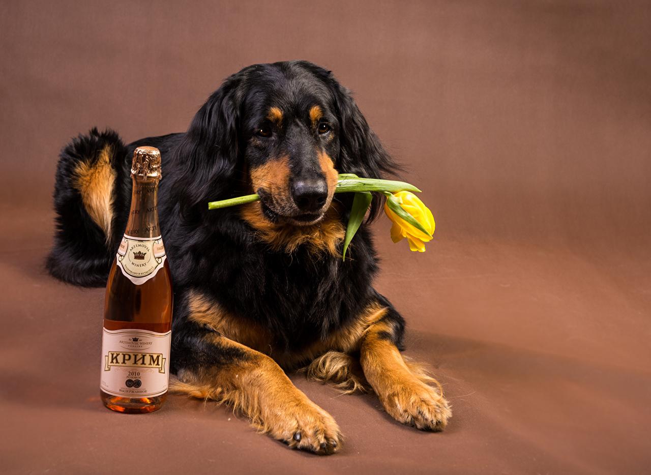 Фотографии Ретривер Собаки Вино Тюльпаны Бутылка Животные ретривера собака тюльпан бутылки животное