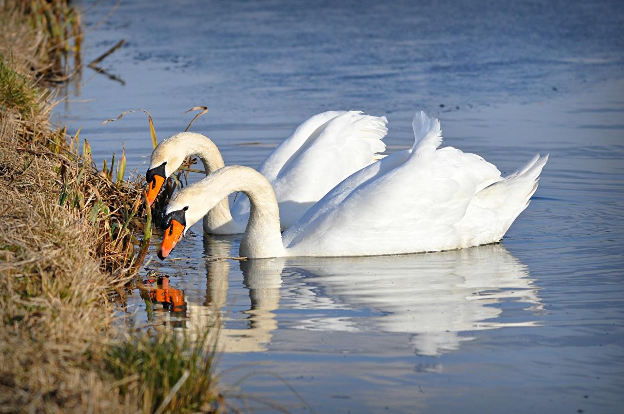 Фотография Птицы Лебеди Белый вдвоем Вода Трава Животные 2 Двое