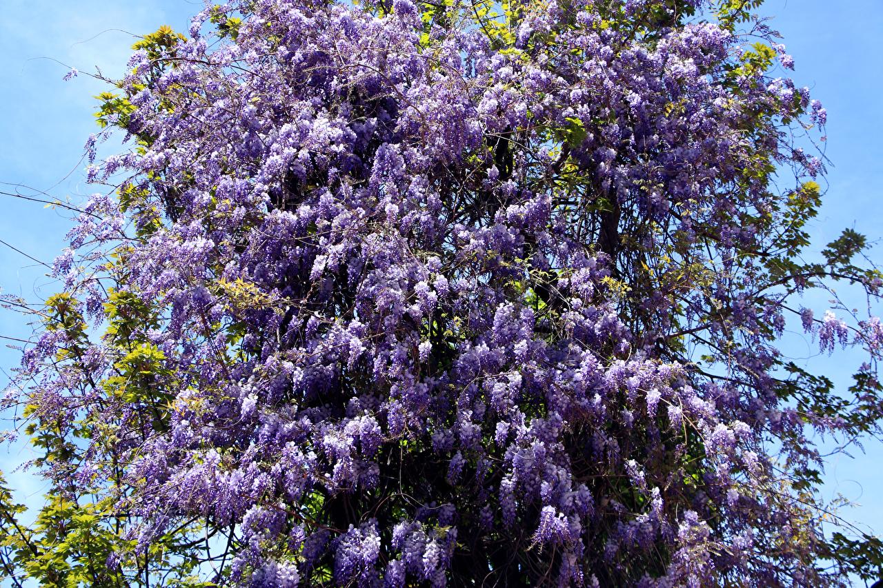 Фото фиолетовые Цветы Сирень Ветки фиолетовых Фиолетовый фиолетовая цветок ветвь ветка на ветке
