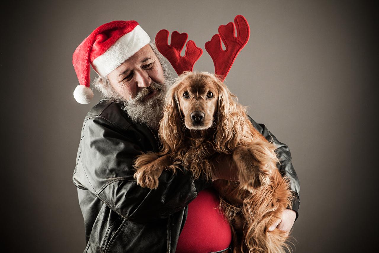 Фото Спаниель Собаки Новый год Мужчины Рога Шапки Животные Серый фон Рождество