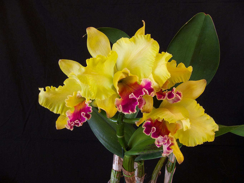 Картинка желтая орхидея цветок вблизи желтые Желтый желтых Орхидеи Цветы Крупным планом