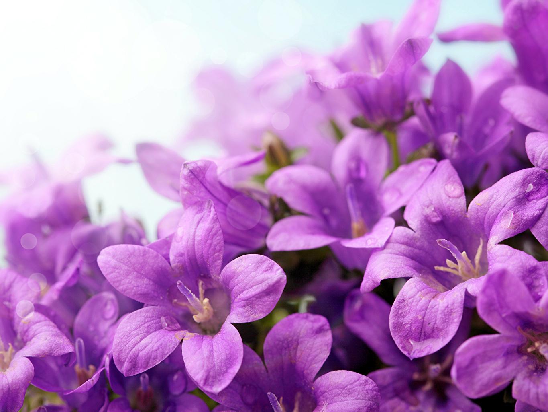 Картинки фиолетовых цветок Колокольчики - Цветы Крупным планом фиолетовая фиолетовые Фиолетовый Цветы вблизи