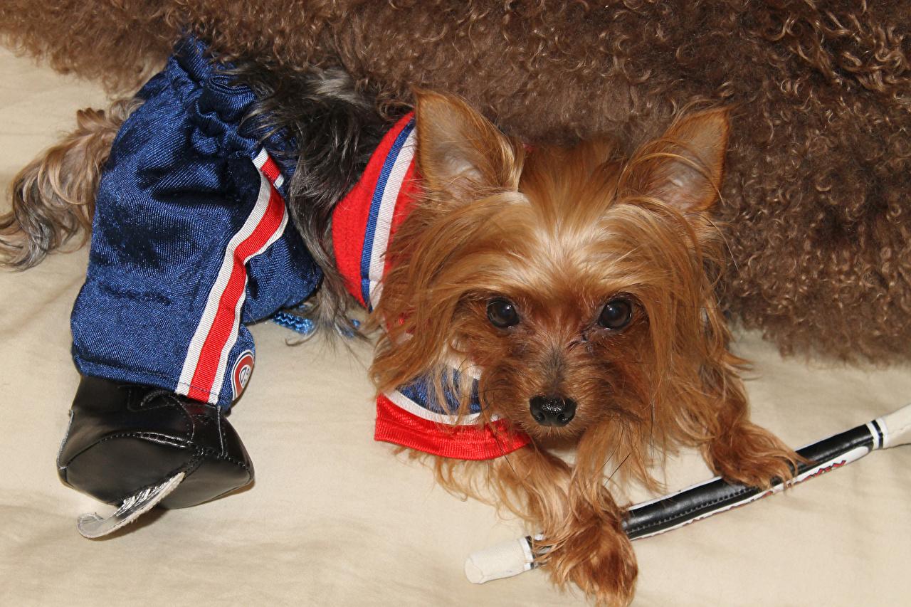 Картинка Йоркширский терьер Собаки Униформа Животные собака униформе животное