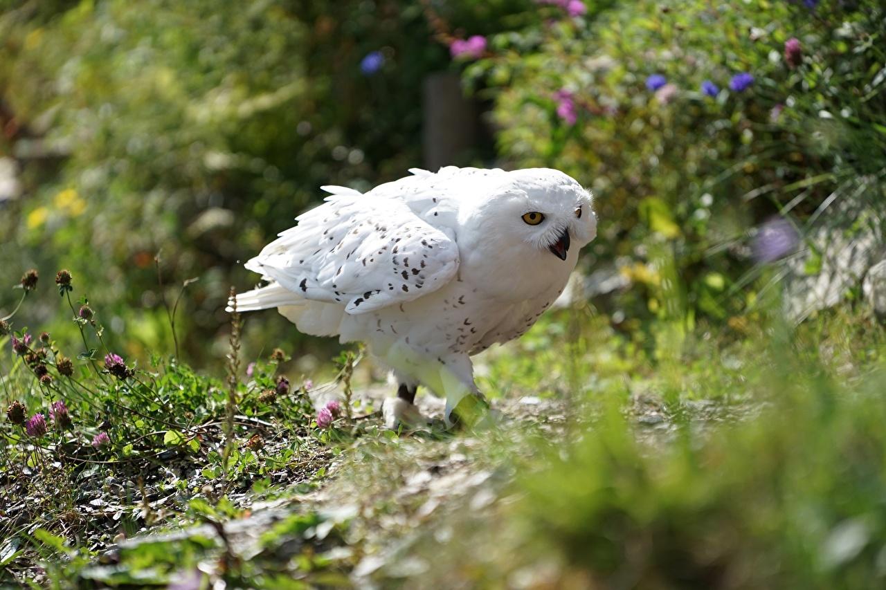 Фотографии сова птица Размытый фон белая животное совы Птицы Совообразные боке Белый белые белых Животные