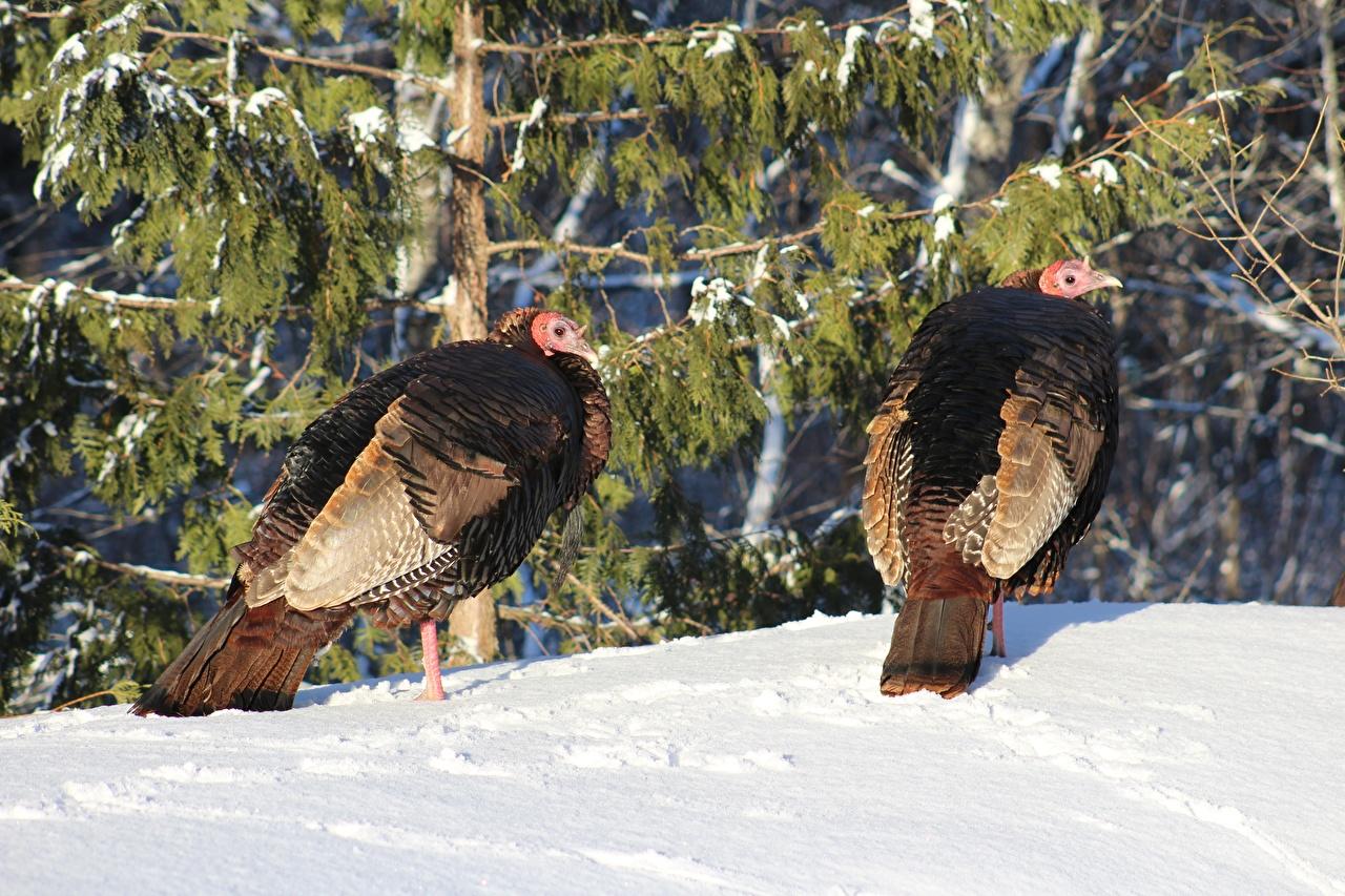 Обои для рабочего стола птица Domestic turkey 2 зимние Снег животное Птицы две два Двое Зима вдвоем снеге снегу снега Животные