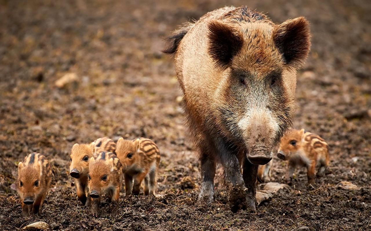 Фотографии Кабан Детеныши Животные дикая свинья животное