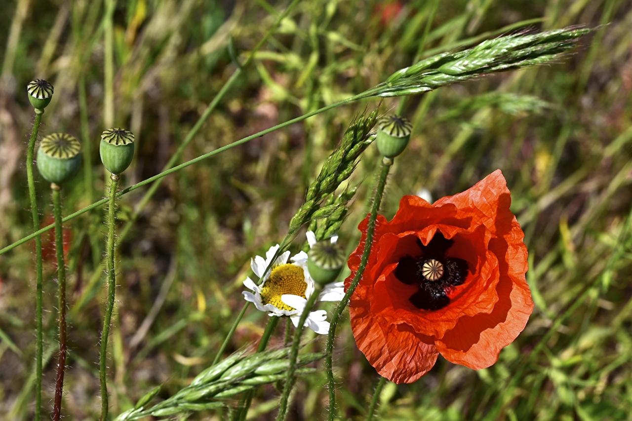 Фотография красная Маки Цветы Бутон Красный красные красных мак цветок