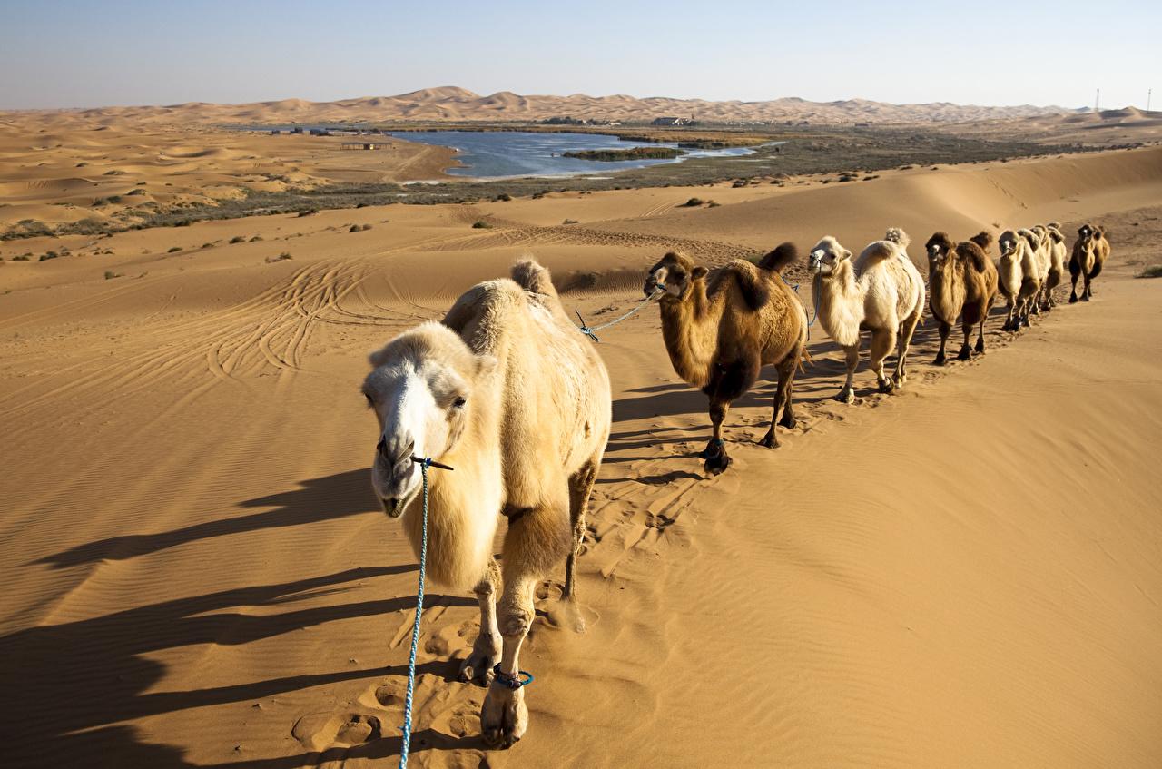 Обои для рабочего стола Верблюды caravan пустыня Природа песка животное верблюд Пустыни Песок песке Животные