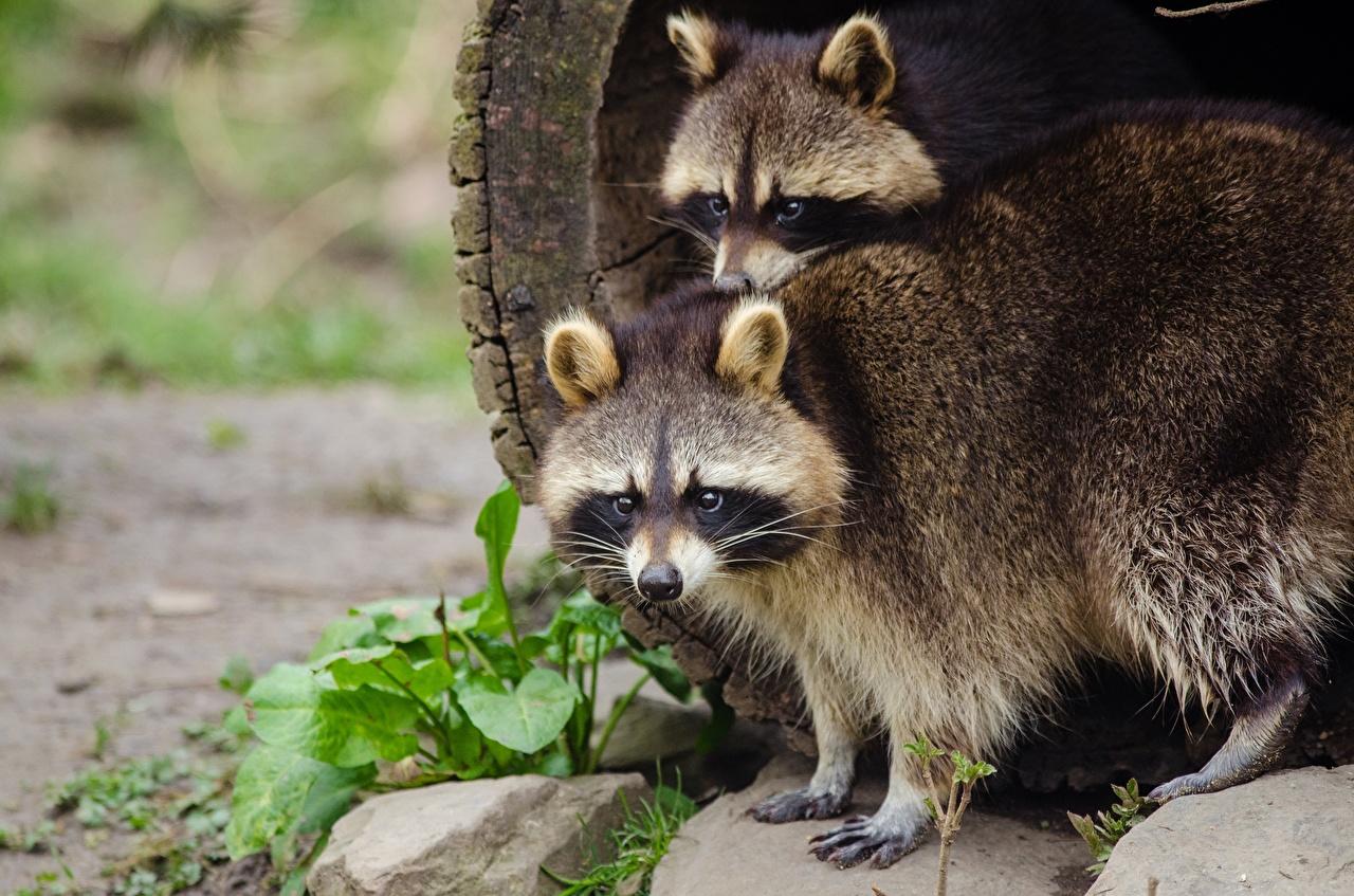 Фото Еноты 2 смотрит животное две два Двое вдвоем Взгляд смотрят Животные