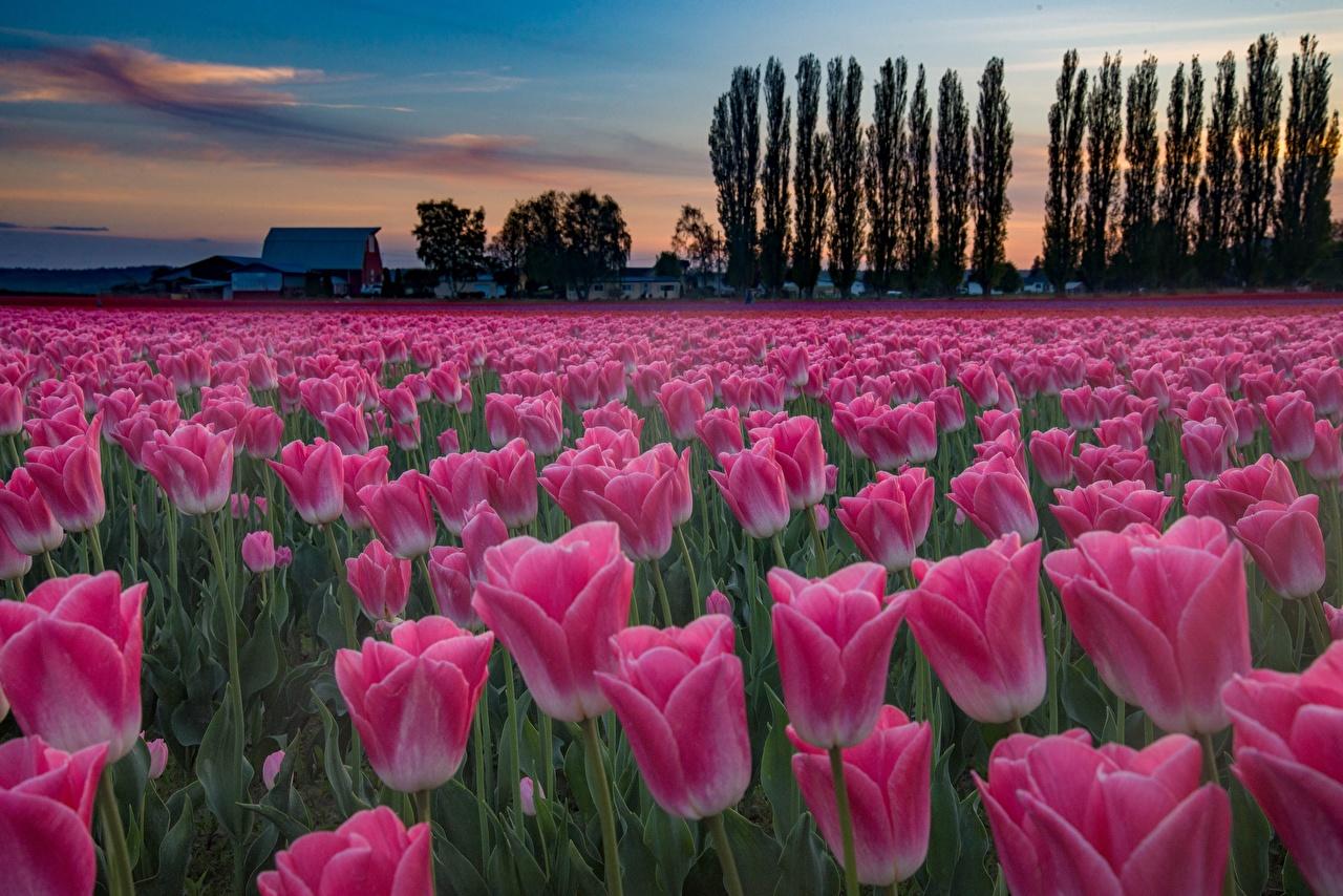 Картинки Розовый тюльпан Поля Цветы Вечер розовых розовые розовая Тюльпаны цветок