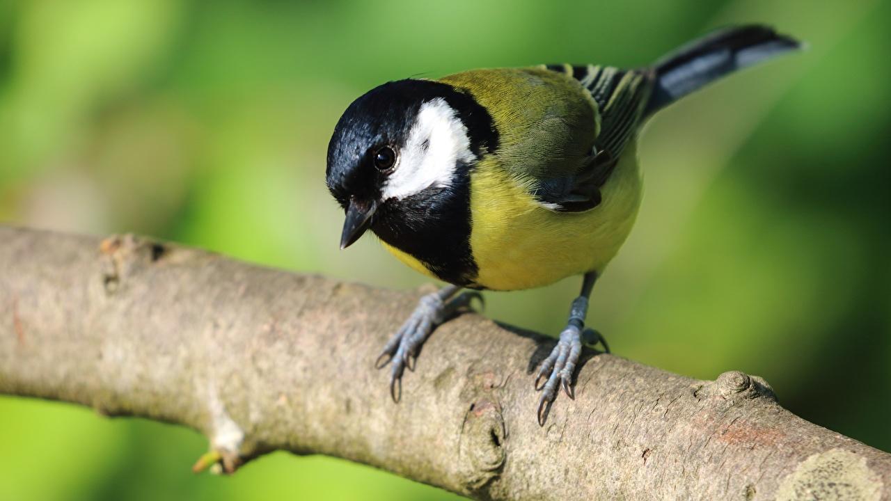Фотография животное Птицы Great tit Синицы ветка Крупным планом Животные птица синиц синица синицевые Ветки ветвь вблизи на ветке