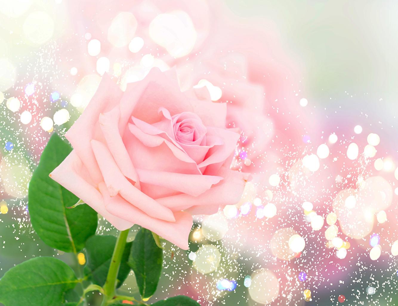Фотографии роза Розовый цветок вблизи Розы розовых розовая розовые Цветы Крупным планом