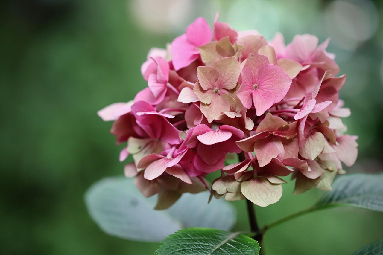 Картинки Размытый фон розовых цветок Гортензия вблизи боке розовая розовые Розовый Цветы Крупным планом