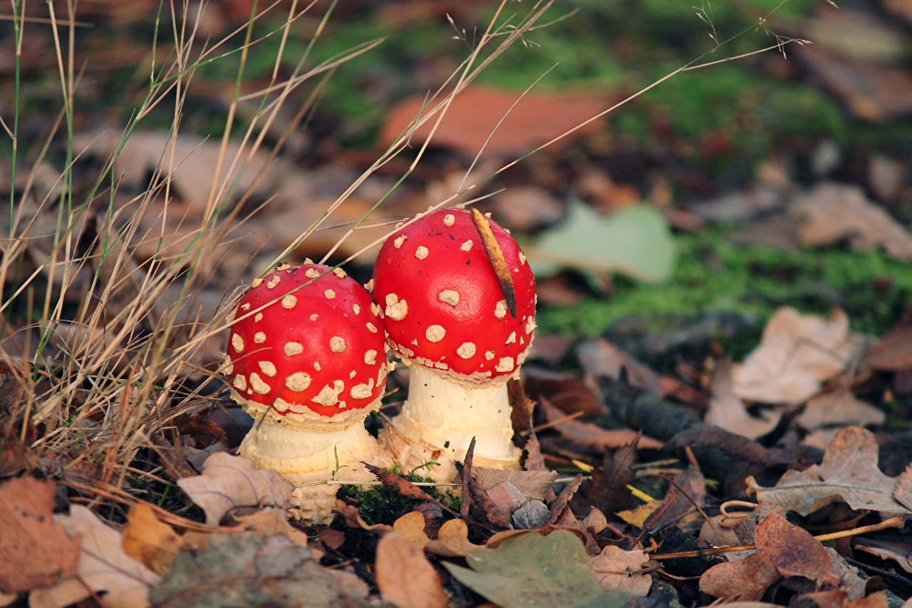 Фото Листья 2 Природа Мухомор Грибы природа лист Листва две два Двое вдвоем