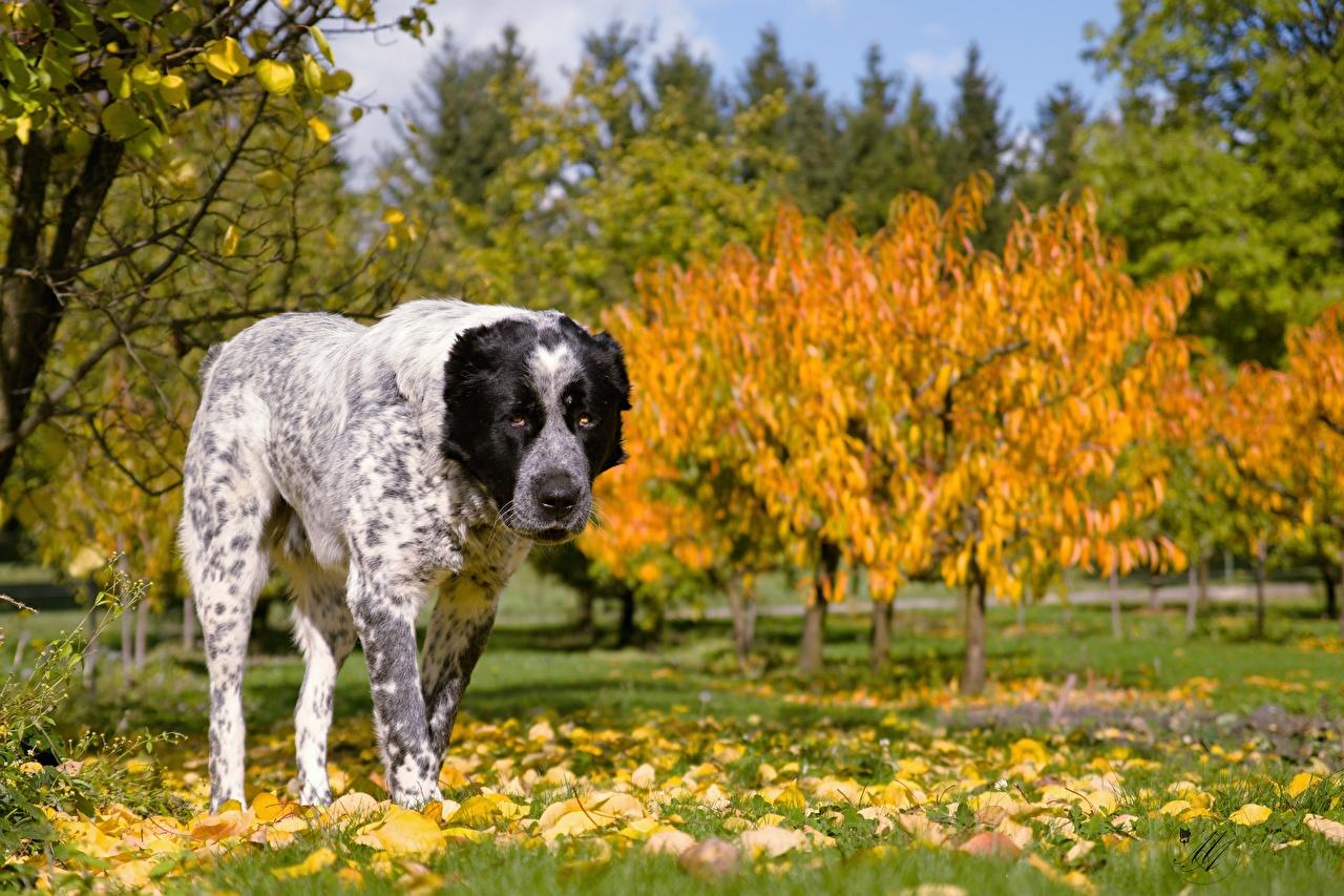 Фото Листья Alabai осенние траве животное лист Листва Осень Трава Животные