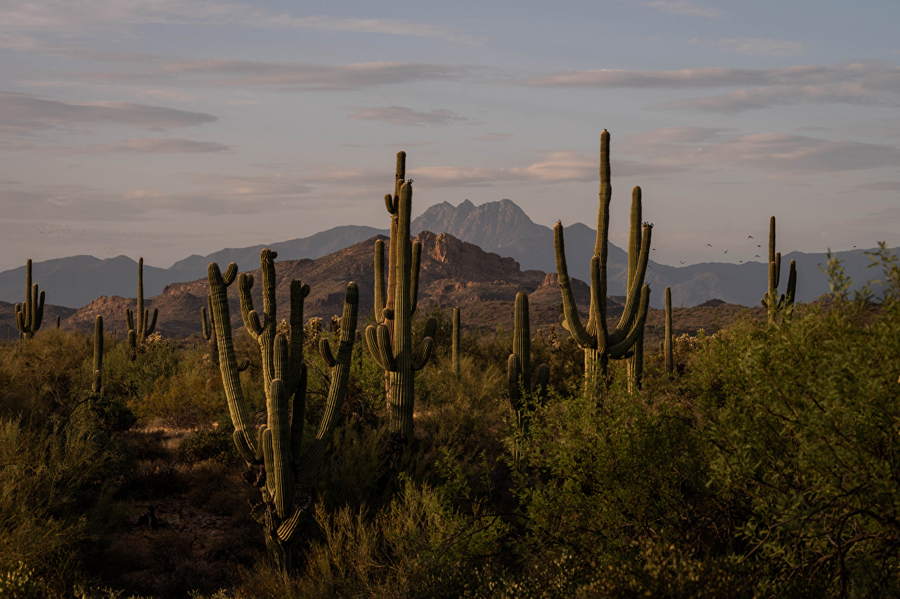 Обои для рабочего стола америка Four Peaks, Arizona Горы Природа Кактусы США штаты гора