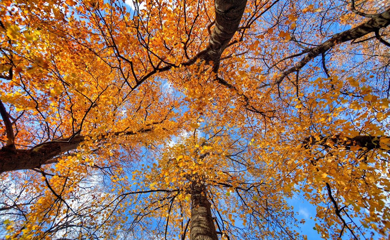 Картинки Вид снизу осенние Природа Ствол дерева дерево Осень дерева Деревья деревьев