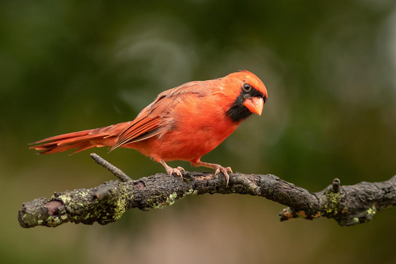 Фотография птица Размытый фон оранжевых ветка Животные Птицы боке оранжевая оранжевые Оранжевый ветвь Ветки на ветке животное