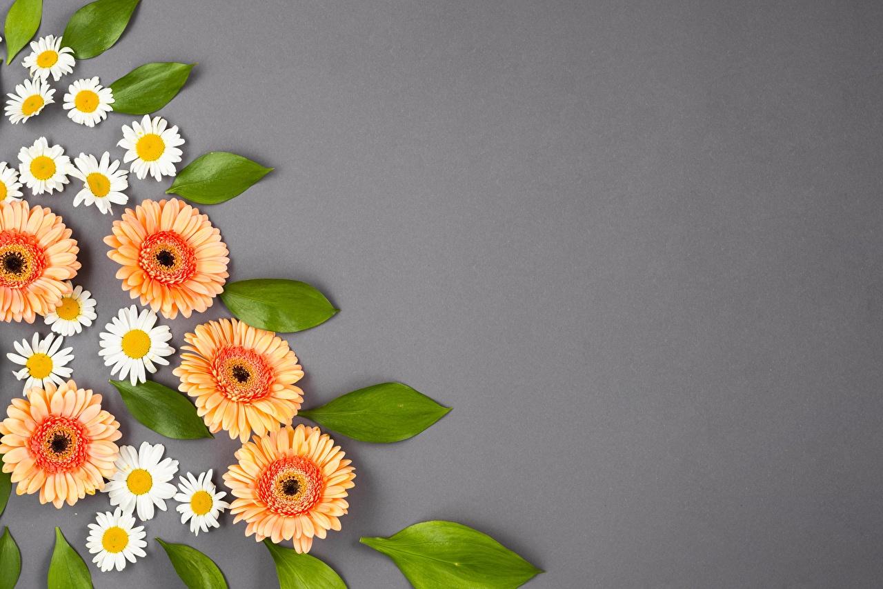 Картинки гербера Цветы ромашка Серый фон Герберы цветок Ромашки сером фоне