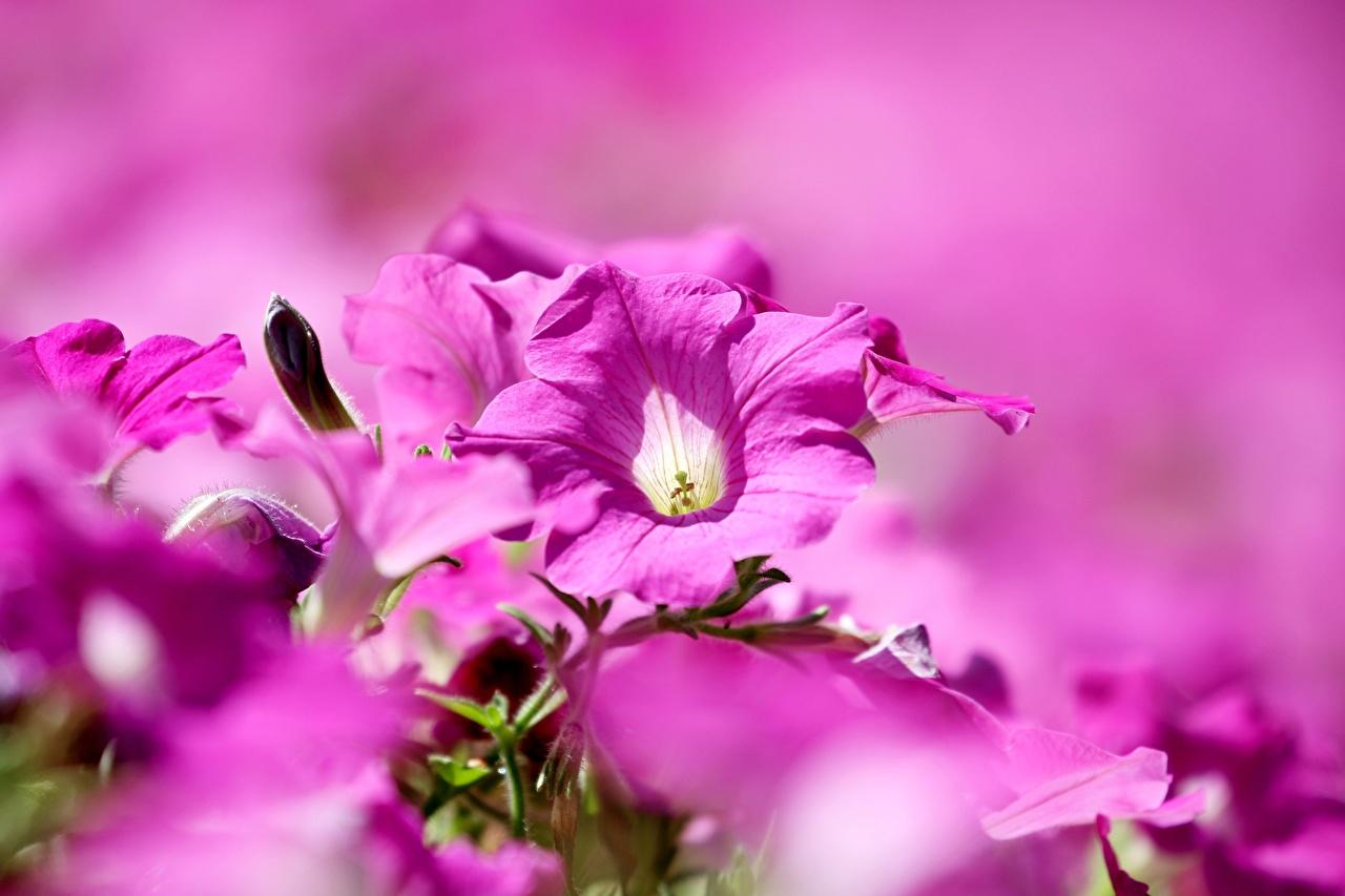 Фотографии боке розовые Цветы Петунья Размытый фон розовая Розовый розовых цветок петуния