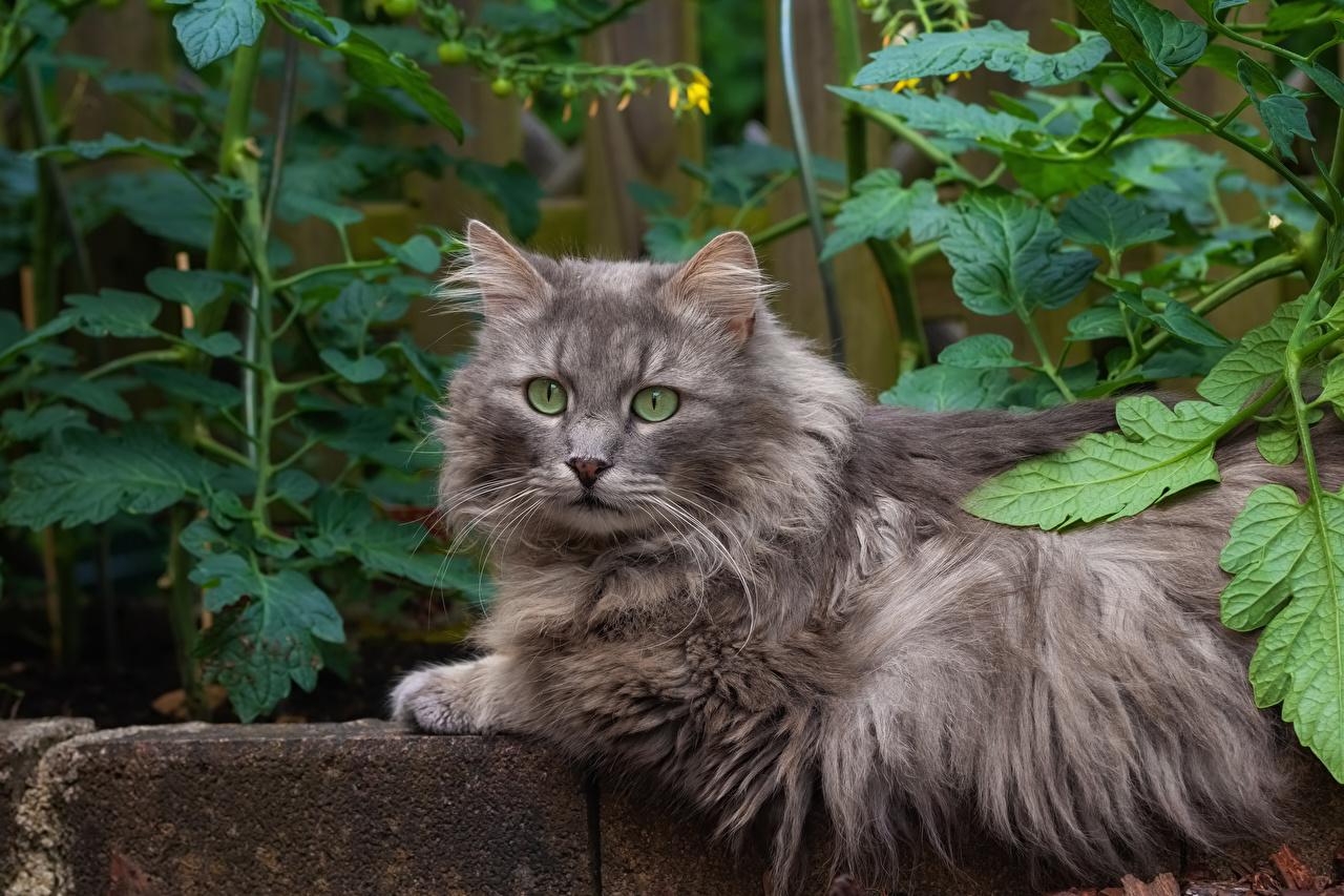 Фотографии кот смотрит животное коты кошка Кошки Взгляд смотрят Животные