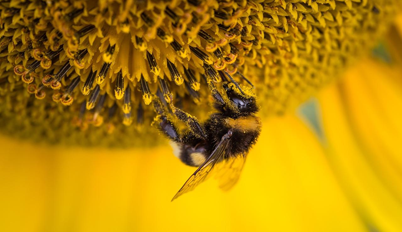 Обои для рабочего стола Шмель насекомое Пыльца вблизи Животные шмели Насекомые пыльцой животное Крупным планом