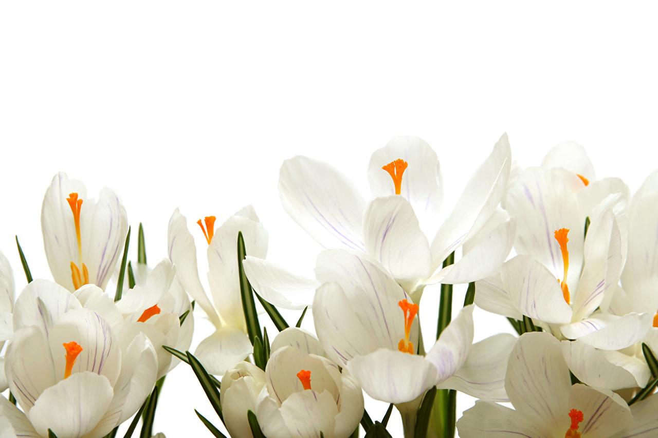 Фотография белая Цветы Крокусы белом фоне Крупным планом белых белые Белый Шафран вблизи Белый фон белым фоном