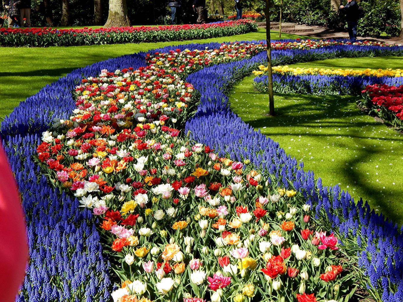 Картинка Нидерланды Keukenhof Природа Тюльпаны Парки Газон Гиацинты Дизайн