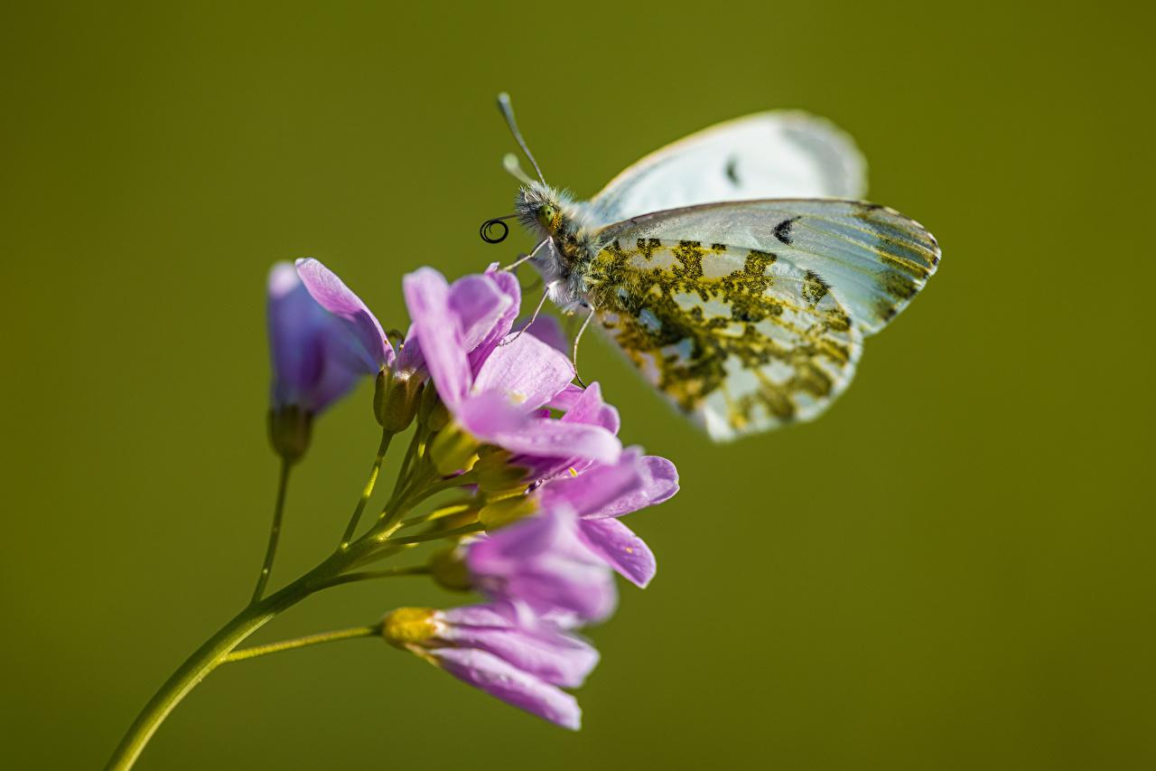 Фотография Бабочки Anthocharis cardamines Животные Крупным планом бабочка вблизи животное