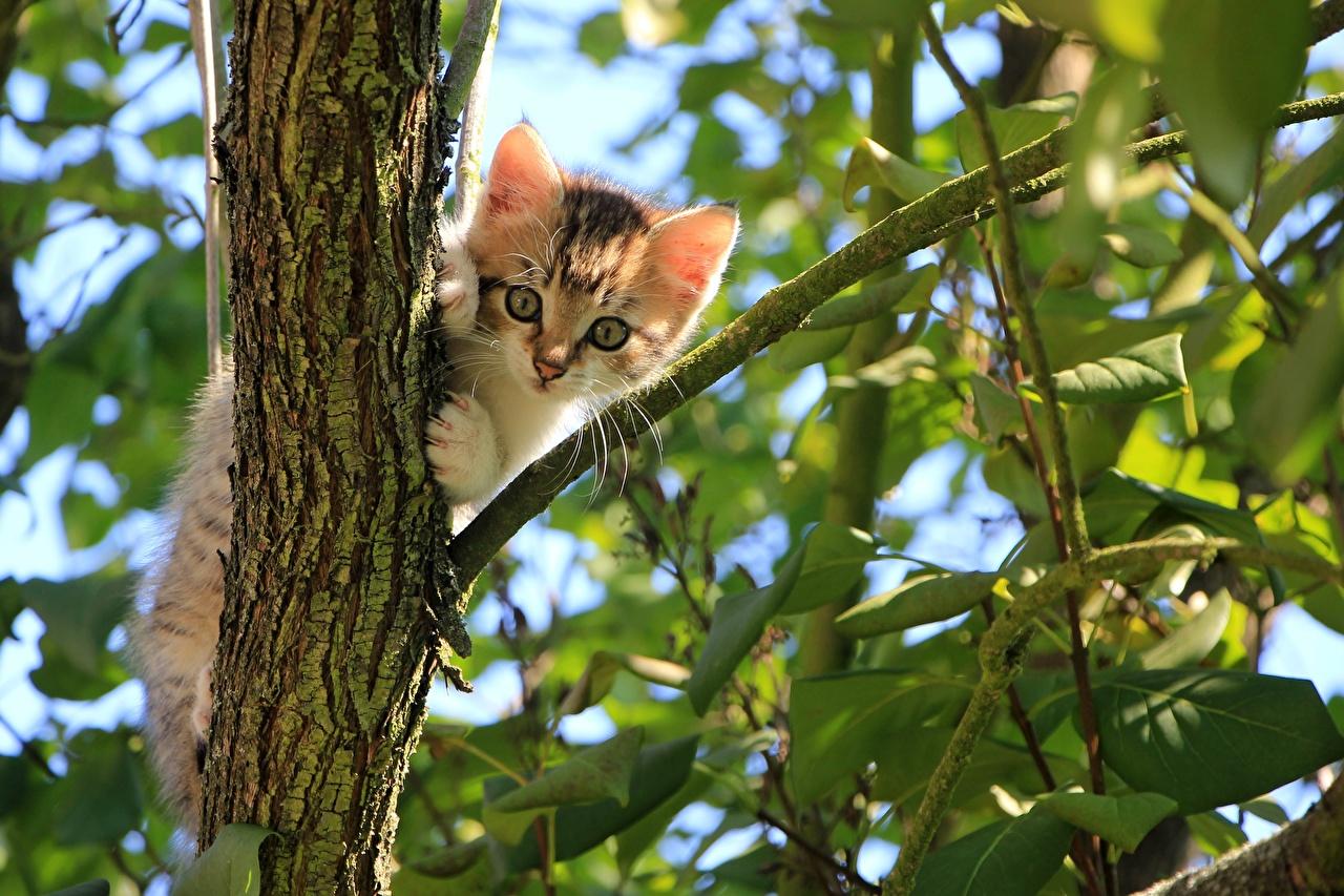 Картинка котенок Кошки Листья ветка смотрит Животные котят Котята котенка кот коты кошка лист Листва ветвь Ветки на ветке Взгляд смотрят животное