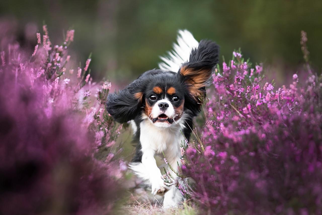 Картинка Кинг чарльз спаниель собака бегущий Животные Собаки Бег бежит бегущая животное