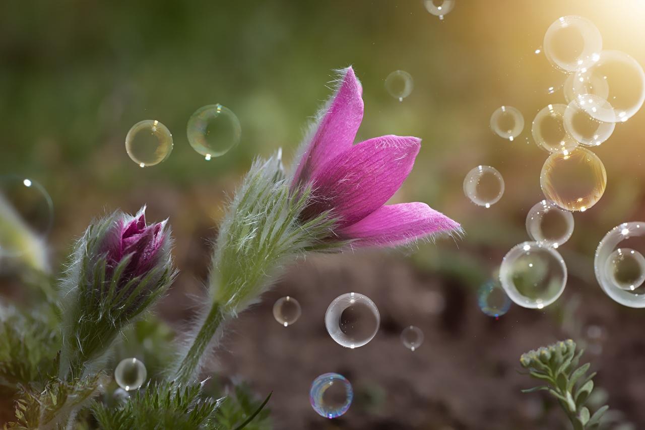 Картинка Мыльные пузыри розовых Цветы Прострел вблизи Розовый розовые розовая цветок Крупным планом
