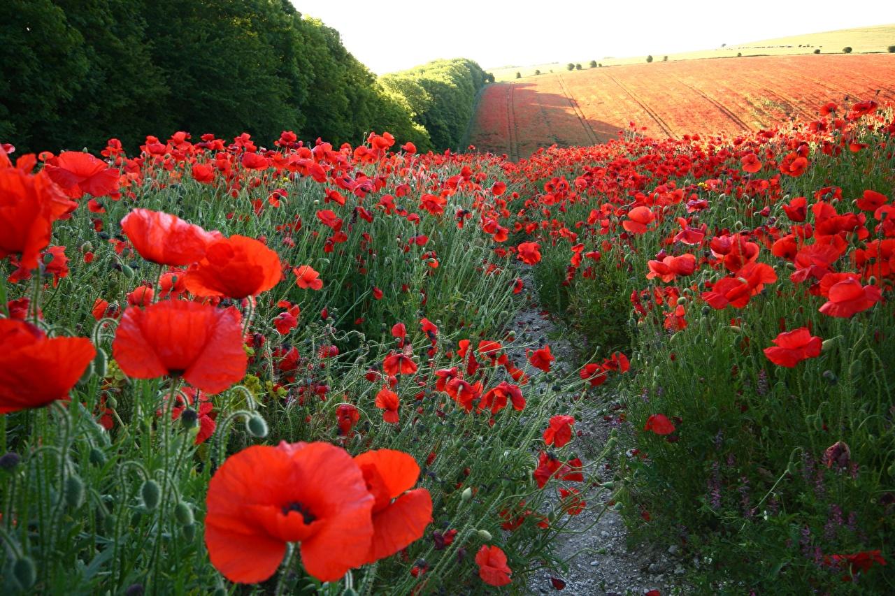 Картинка Природа мак Поля Цветы Много Маки цветок