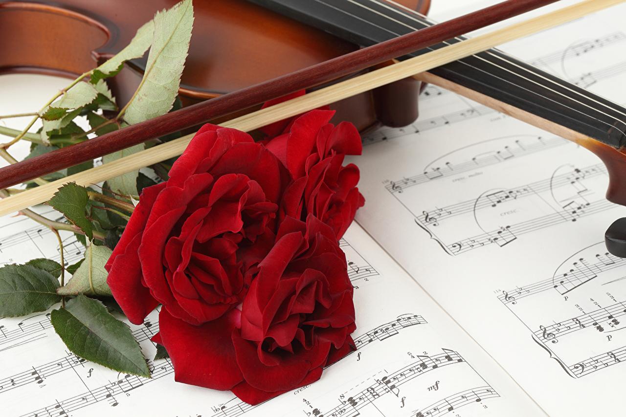 Фотография Ноты роза красная цветок Трое 3 Розы красных Красный красные Цветы три втроем