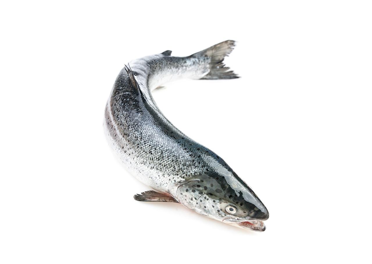 Картинки Atlantic salmon Лососи Рыба животное белым фоном Животные Белый фон белом фоне