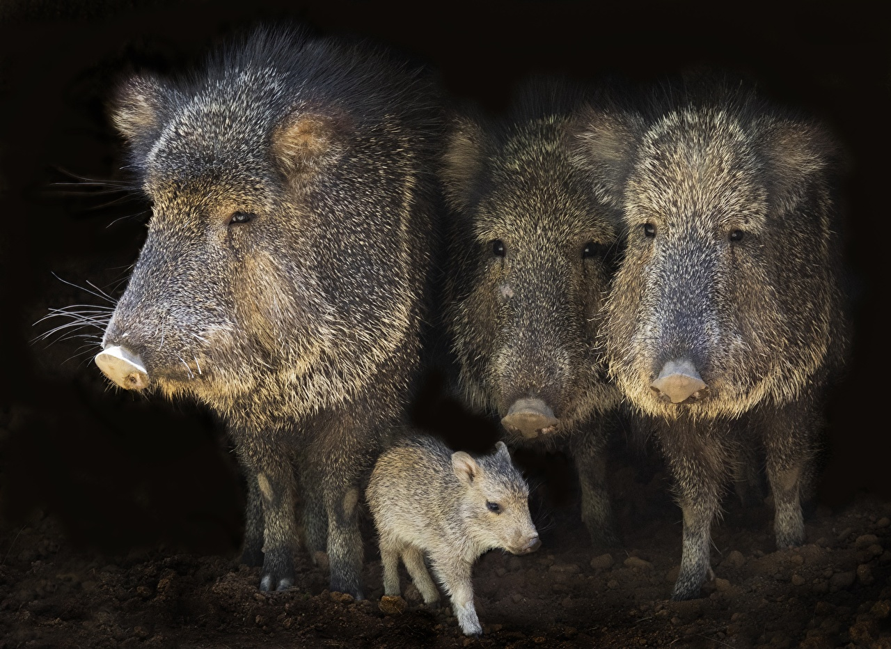 Фотография Кабан Детеныши Четыре 4 Животные дикая свинья животное
