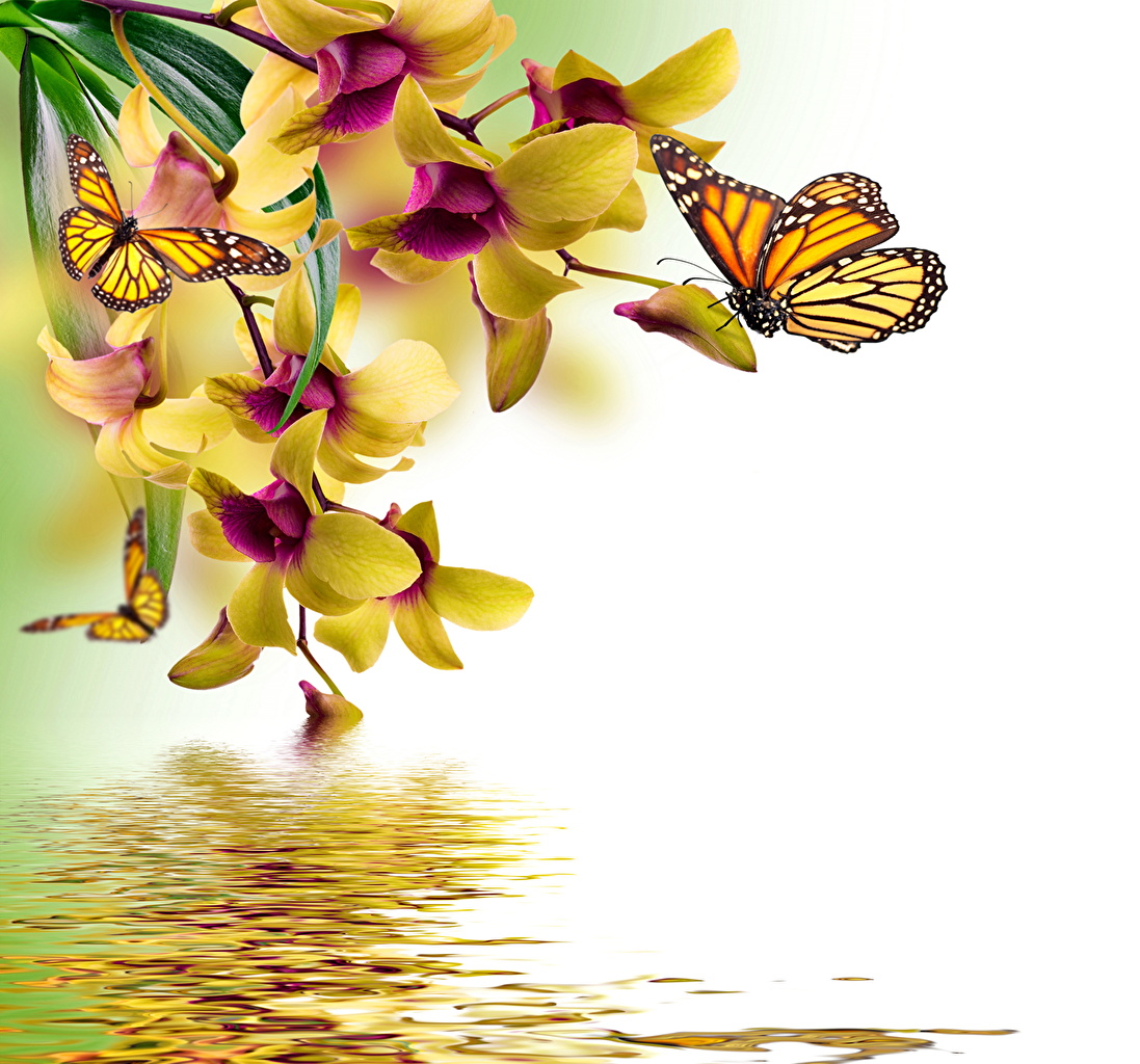 Фотография бабочка орхидея Животные Рисованные Бабочки Орхидеи животное
