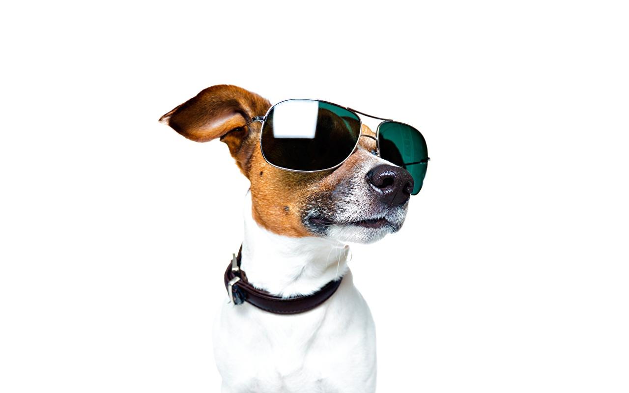 Обои для рабочего стола Джек-рассел-терьер Собаки Морда очках головы Животные белом фоне собака Очки морды очков Голова животное Белый фон белым фоном