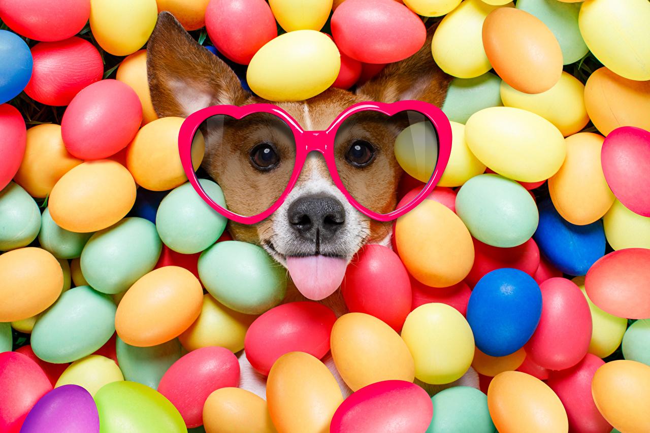 Картинка Пасха Джек-рассел-терьер Собаки смешная Разноцветные Яйца Язык (анатомия) очков животное Праздники собака смешной Смешные забавные яиц яйцо яйцами языком Очки очках Животные