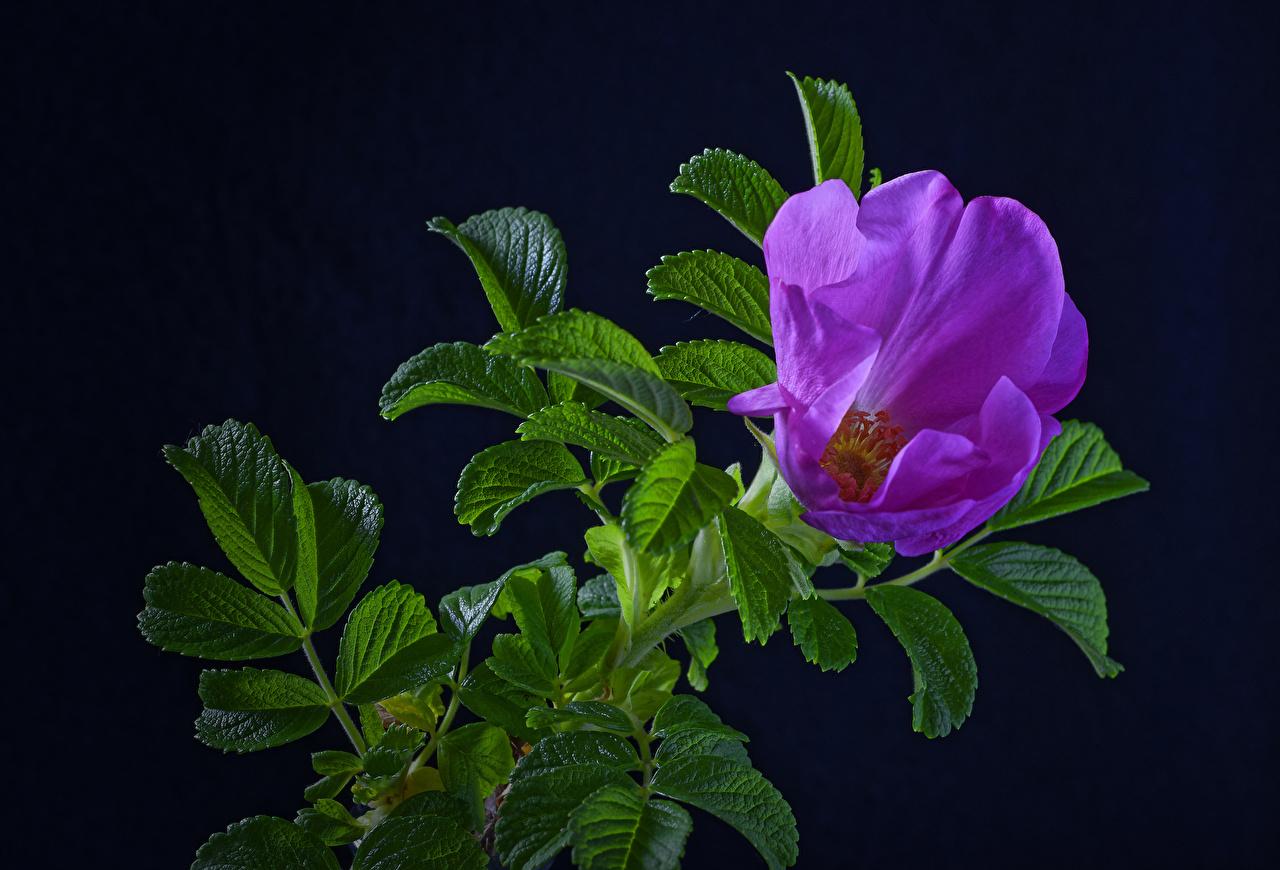 Обои Листья Розы Фиолетовый Цветы ветвь Черный фон Листва Ветки