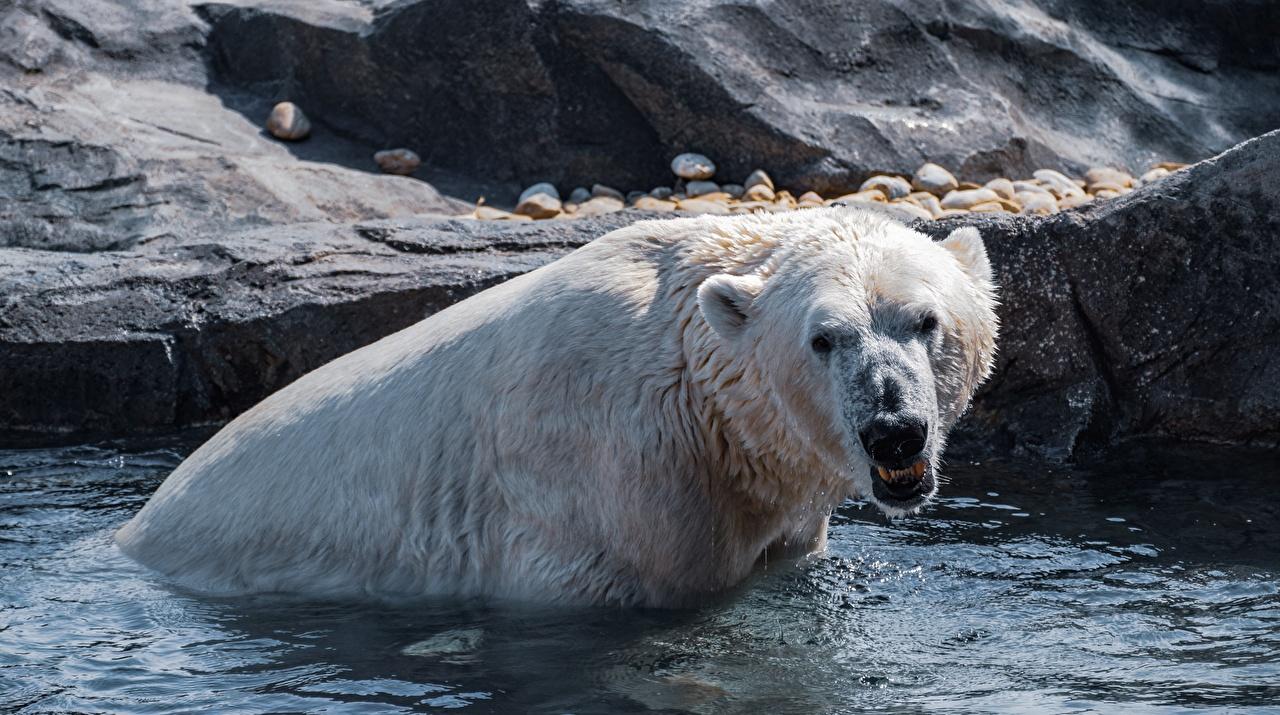 Фотография Белые Медведи Медведи злость Вода Мокрые животное полярный северный медведь злой Оскал рычит воде влажные Животные