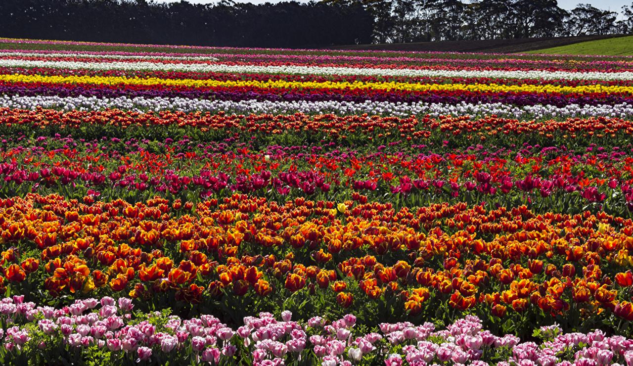 Фотография Австралия Tasmania Весна Тюльпаны Поля Цветы Много весенние