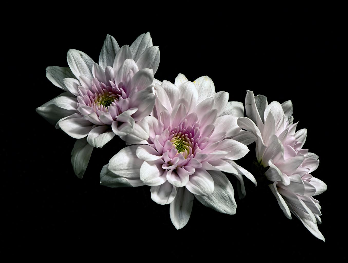 Картинка Белый цветок Хризантемы втроем на черном фоне белых белые белая Цветы три Трое 3 Черный фон