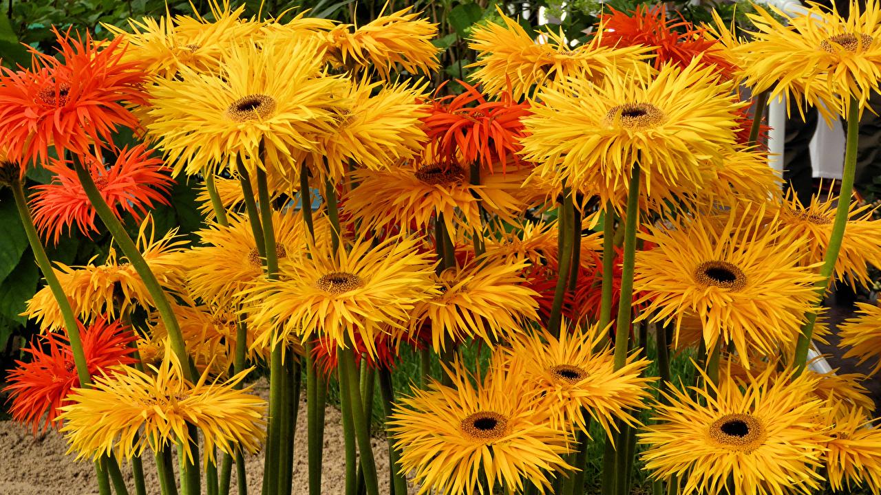 Картинка желтых гербера цветок вблизи желтые желтая Желтый Герберы Цветы Крупным планом