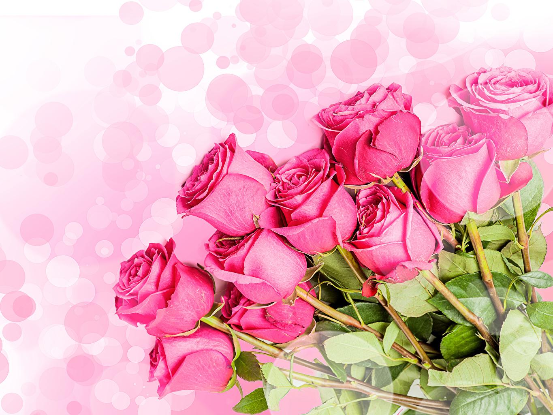 Фото Розы Розовый Цветы Белый фон Крупным планом вблизи