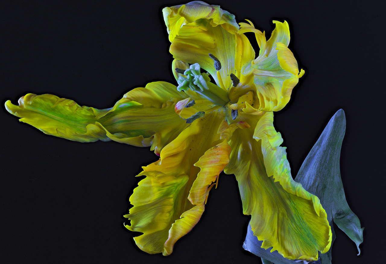 Фотография Parrot Tulip Тюльпаны Цветы Черный фон Крупным планом вблизи