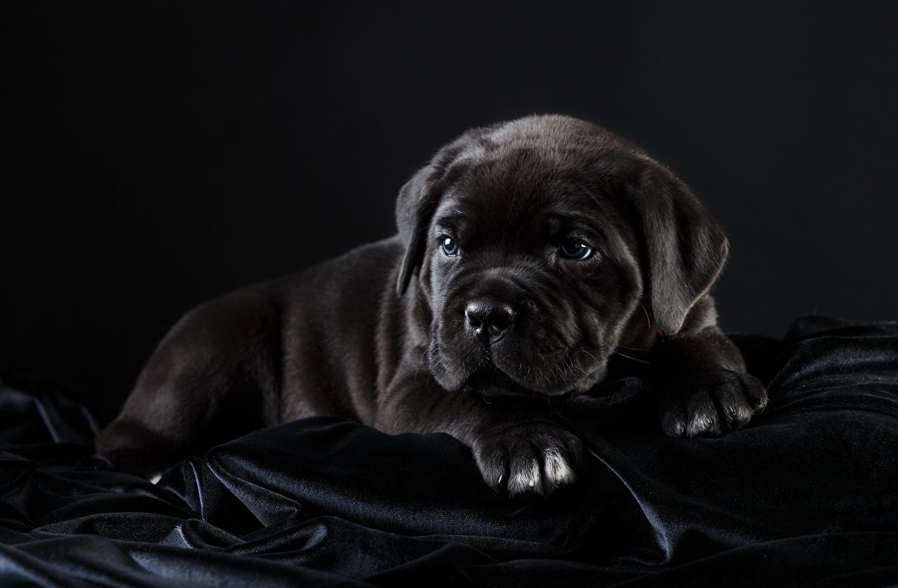 Фотография Щенок Кане корсо собака черных животное на черном фоне щенки щенка щенков Собаки Черный черные черная Животные Черный фон